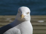 Herring Gull (Larus argentatus)